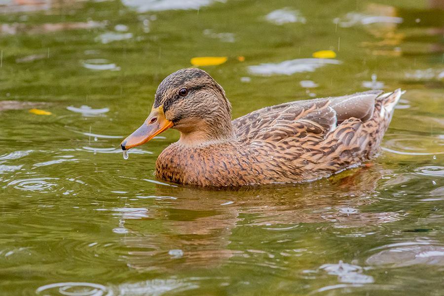 Чем кормить диких уток: на пруду, в домашних услових и парках