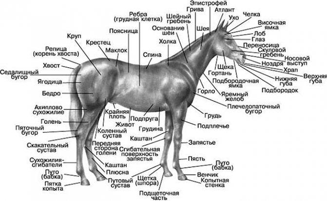 Поговорим о биомеханике: скелет лошади