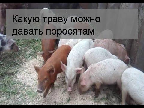 Какой травой можно кормить поросят и свиней: с какого возраста можно давать
