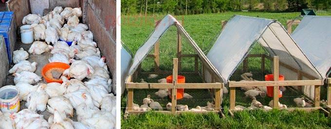 Не растут цыплята несушки: что делать, если цыплята медленно развиваются