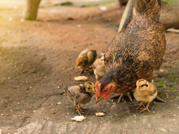 Пропойка цыплят антибиотиками и витаминами — профилактика и лечение