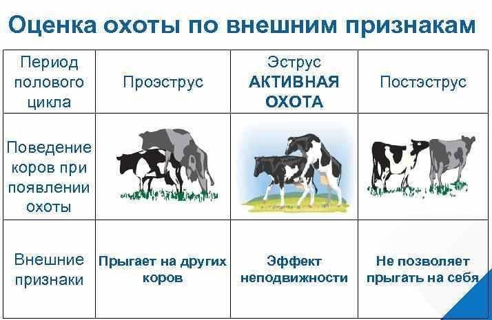 Калькулятор отела коровы онлайн