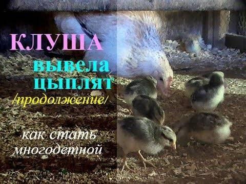 Наседка вывела цыплят: что делать дальше