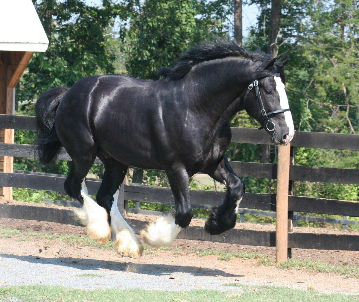 Самые крупные лошади на планете: описание и фото породы шайр