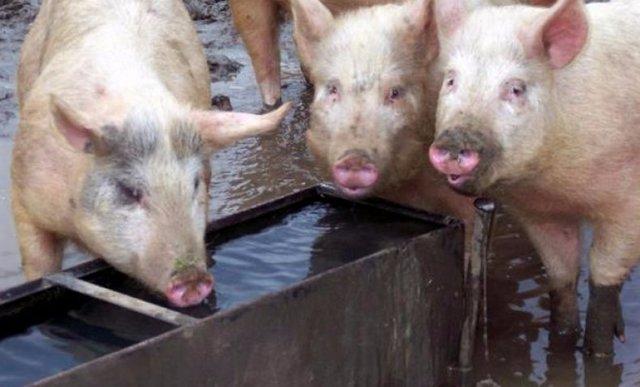 Рожа свиней - симптомы и лечение, можно ли есть мясо после лечения рожи, фото, видео