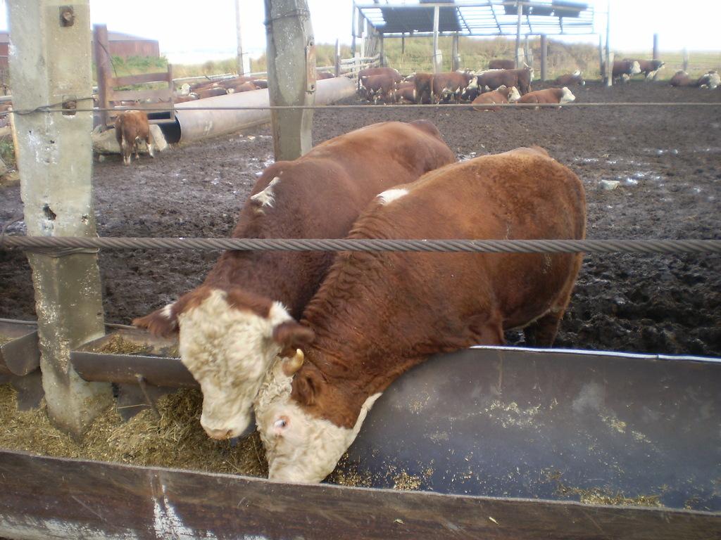 Разведение бычков на мясо как бизнес в домашних условиях | финансы и инвестиции