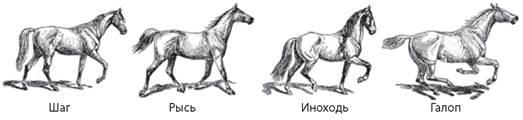 Разбор видов аллюра у лошадей