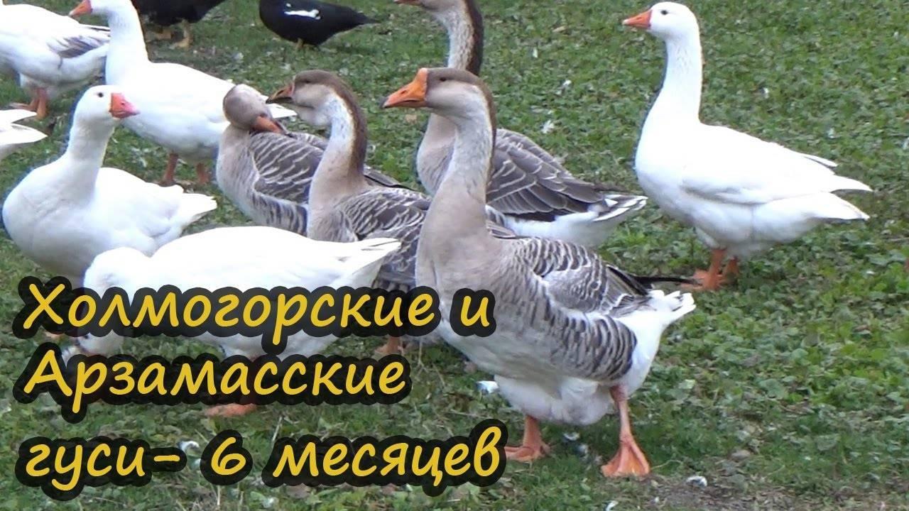 Породы домашних гусей : разведение и откорм гусей