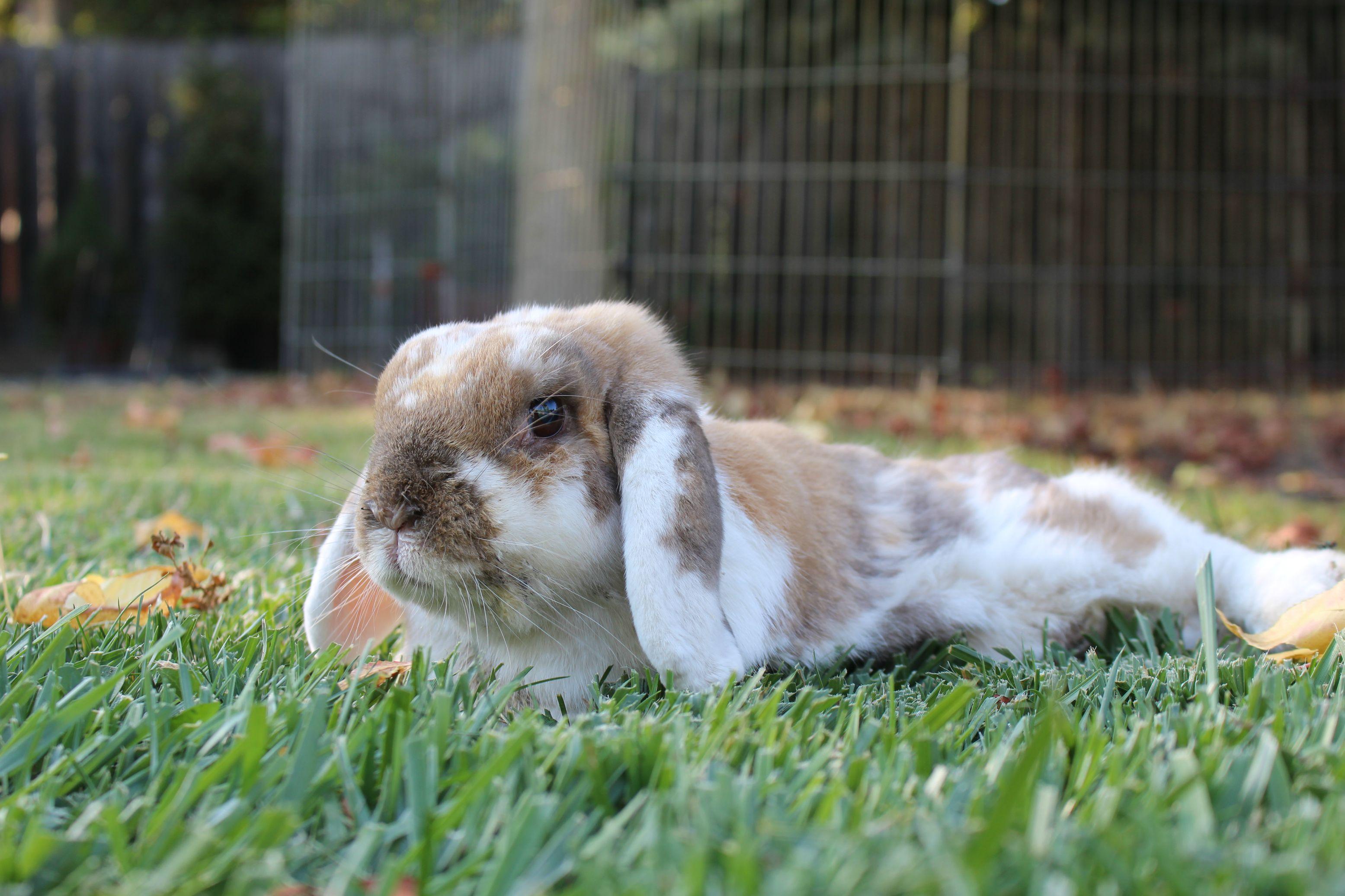 Сколько живет кролик в домашних условиях: средняя продолжительность жизни декоративных и обычных пород