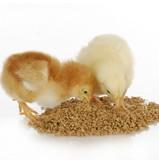 Чем можно кормить цыплят: список разрешенных и запрещенных продуктов