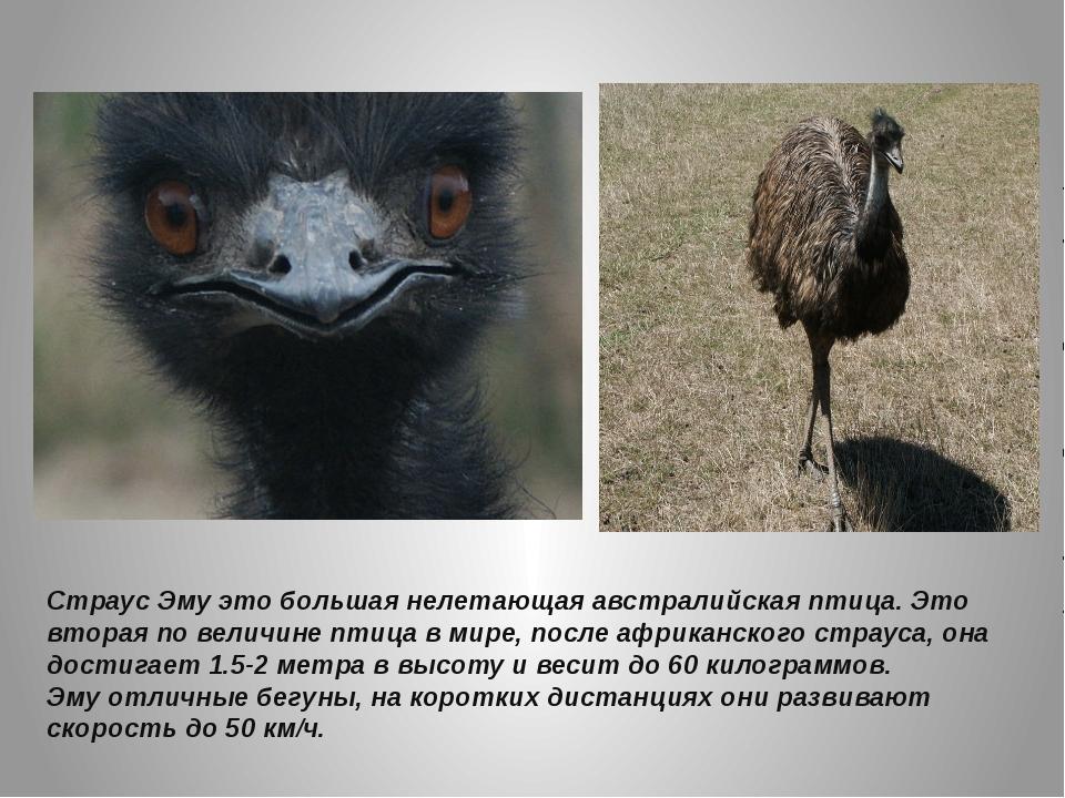 Страусы: птицы или животные и почему они не умеют летать, образ жизни и питание