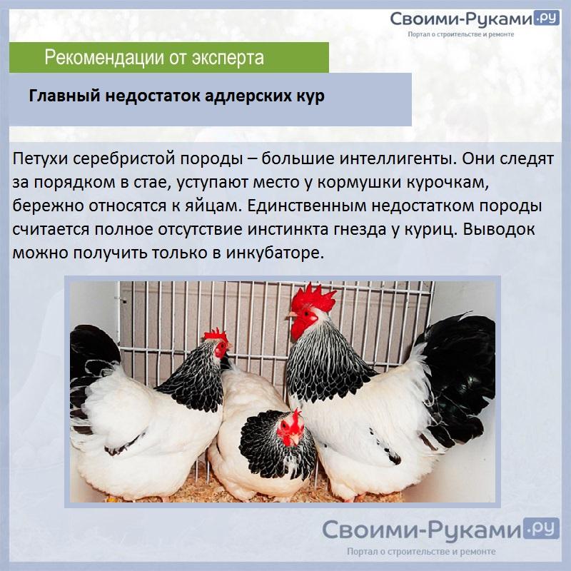 ✅ о породе кур барневельдер: описание и характеристика, как отличить пол цыпленка - tehnomir32.ru