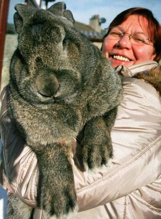 Как выглядит самый большой кролик в мире
