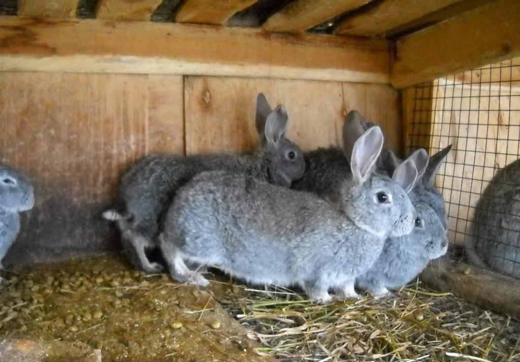 Кролик серый великан: характеристика породы и разведение