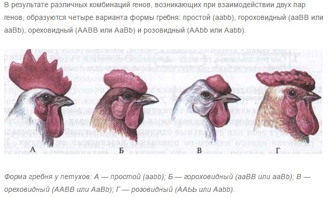 Как определить возраст курицы?