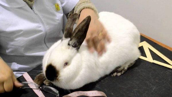 Уход за кроликом: проживание, кормление, основной уход