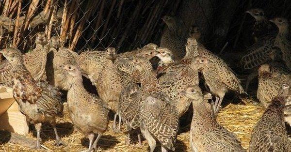 Особенности разведения и содержания фазанов