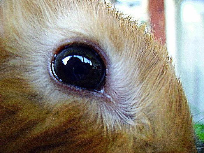 У кролика слезятся глаза - что делать, причины,, лечение