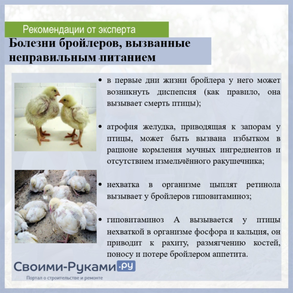 Бройлерные цыплята. уход и кормление в домашних условиях