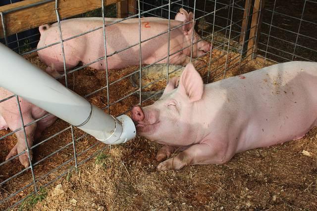 """Как правильно кормить свиней для быстрого роста, и что им давать нельзя? — журнал """"рутвет"""""""