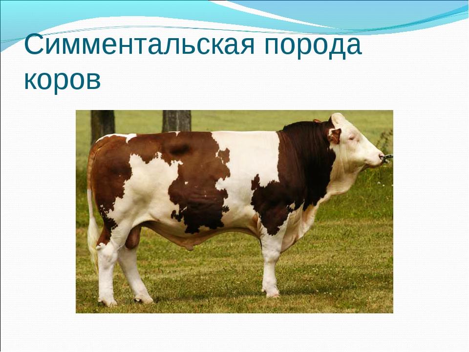 """""""симментальская"""" порода коров: характеристика, болезни, питание и уход, правила разведения и фото"""