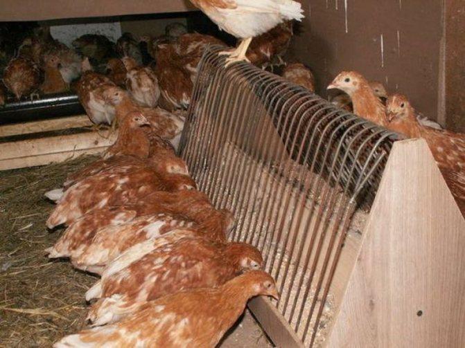Как определить возраст курицы, когда начинают нестись молодки?