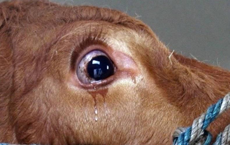 У коровы слезится глаз чем лечить в домашних условиях