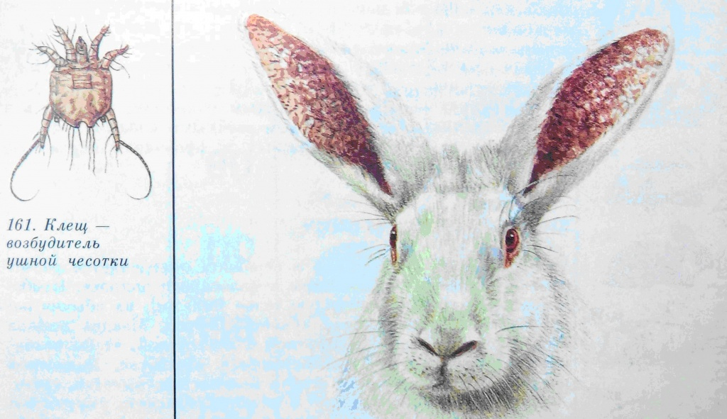 Ушной клещ у кроликов: лечение в домашних условиях, народные средства