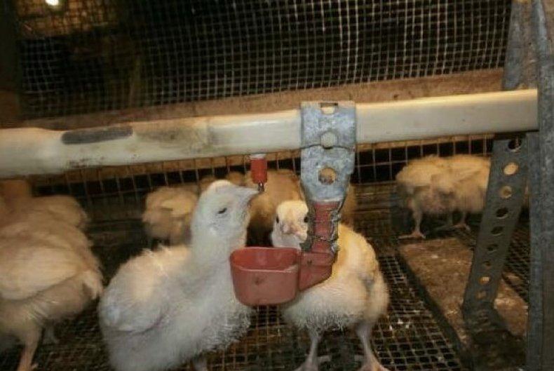 Выращивание цыплят в домашних условиях, уход за цыплятами в первые дни жизни, видео