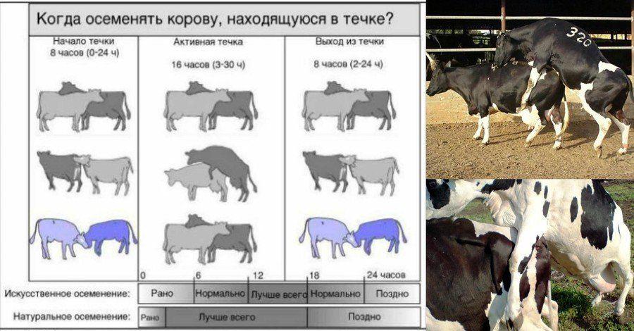 Стельность коров: как определить оплодотворение народными и научными средствами на ранних и поздних сроках