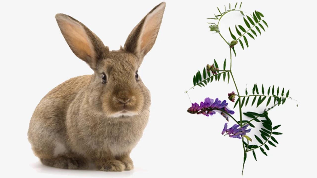Спорыш можно ли давать кроликам