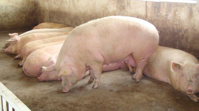 Премиксы для свиней