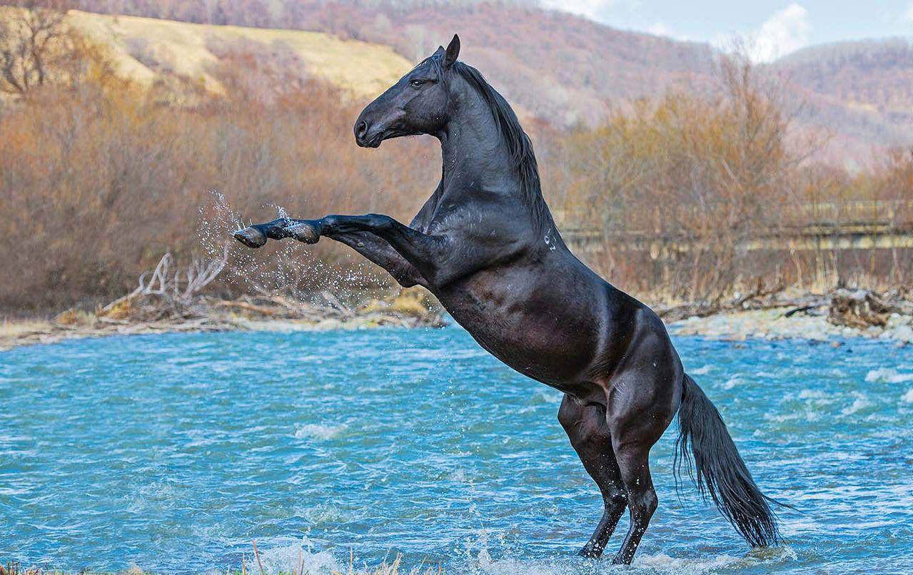 Карачаевская порода лошадей — жемчужина кавказских гор