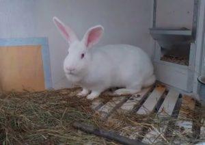 Бельгийский кролик великан: продуктивность и перспективы разведения — cельхозпортал