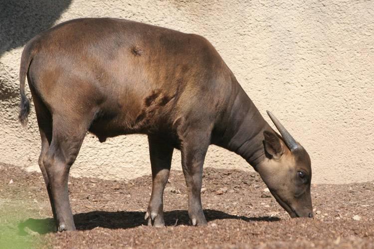 Кто такие целебесские карликовые буйволы. карлик среди буйволов, cлова из 4 букв