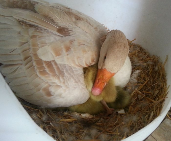 Сколько дней высиживает яйца гусыня: когда начинают нестись и как посадить на кладку