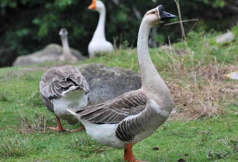 Порода крупного серого гуся: содержание и кормление, основы правильного разведения птиц