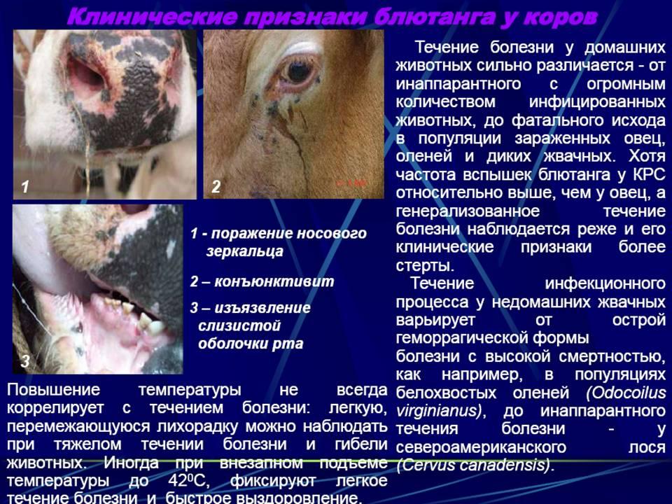 Заболевания вымени у коров