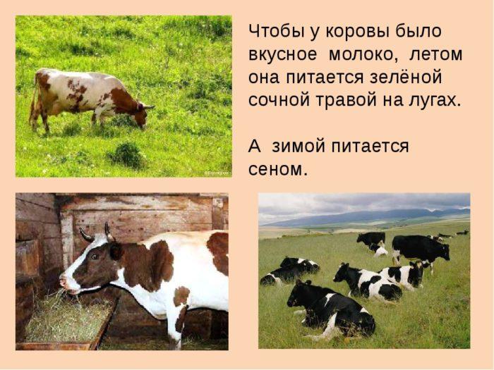 Почему у коровы горчит молоко? как избавиться от горечи?