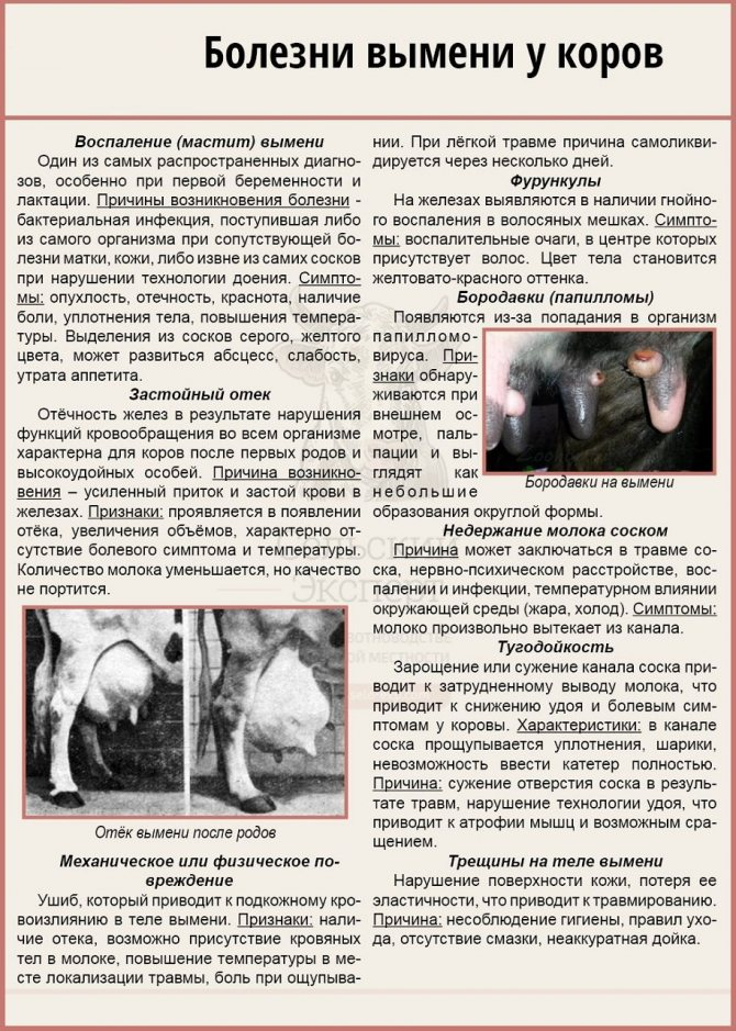 Как лечить ушиб вымени у коровы? - мы здоровы!