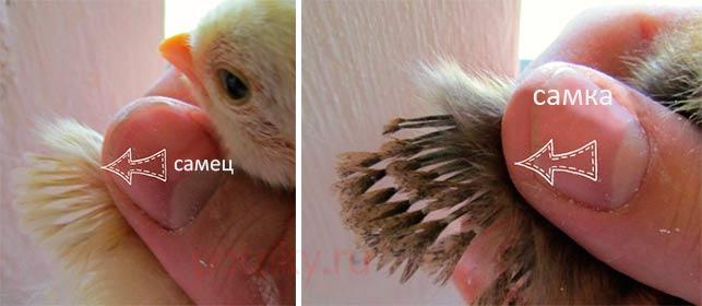 Белые широкогрудые индюки (27 фото): описание породы индеек, кормление и уход, разведение индюшат в домашних условиях