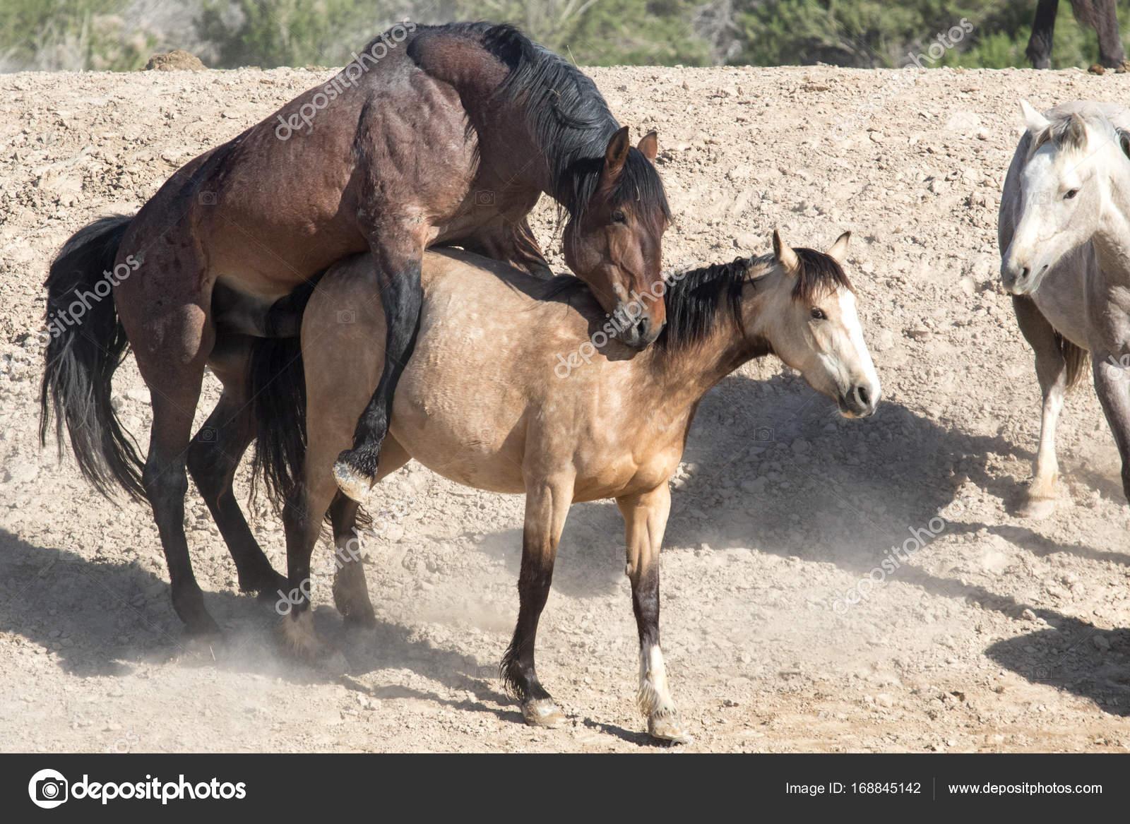 Лошади спариваются видео смотреть онлайн. случка животных: как спариваются лошади, вязка коней, видео