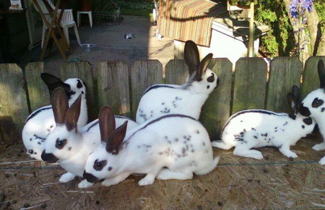 ᐉ кролик бабочка: описание породы, разведение и уход - zooon.ru