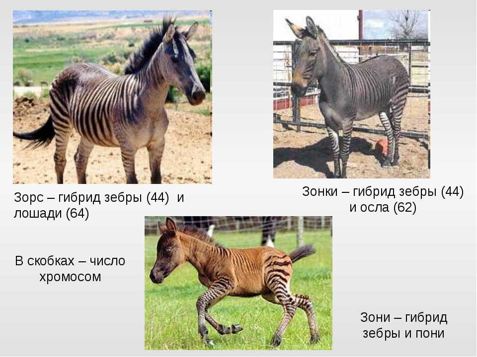 Чудеса эволюции – получение гибридов лошадей с другими видами