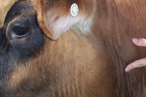 У коровы шишки на шее после уколов