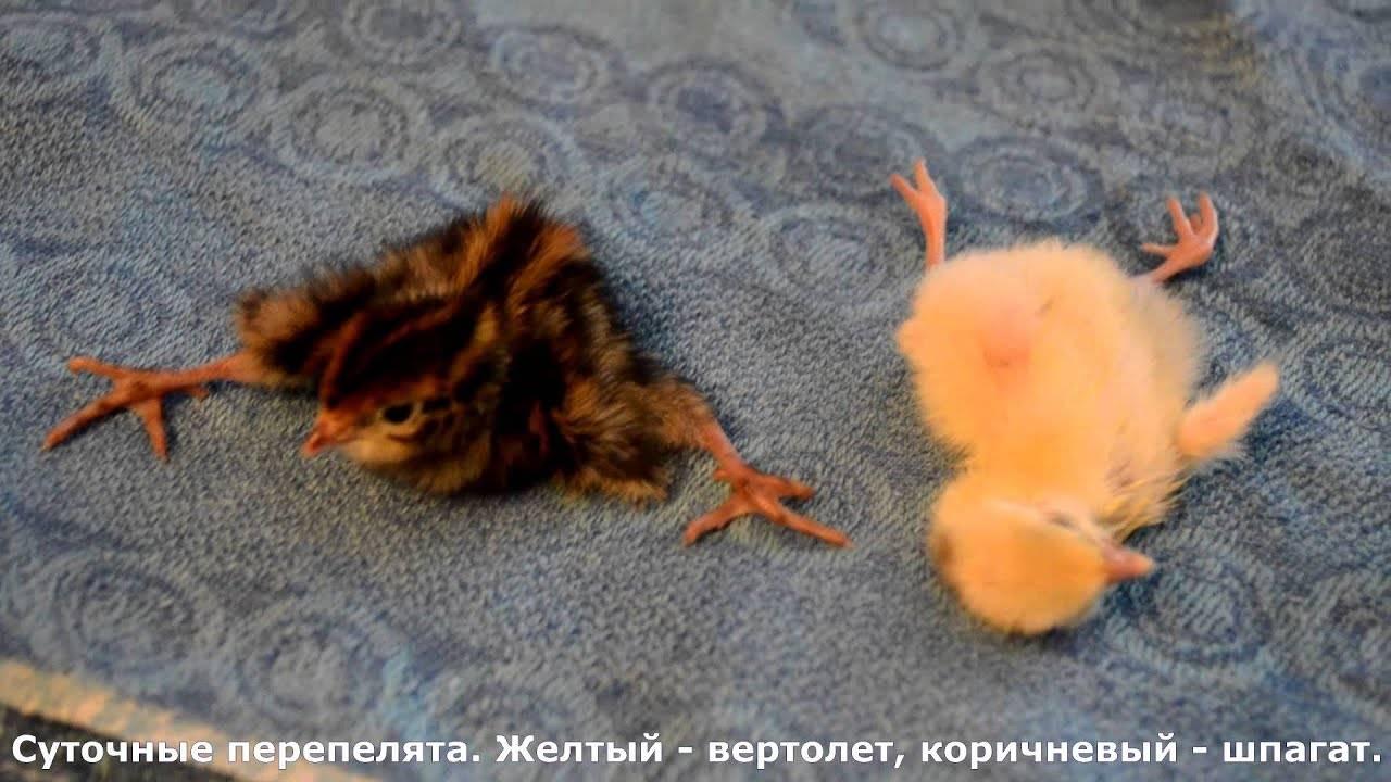 Суточные птенцы перепелов: уход, кормление, этапы развития