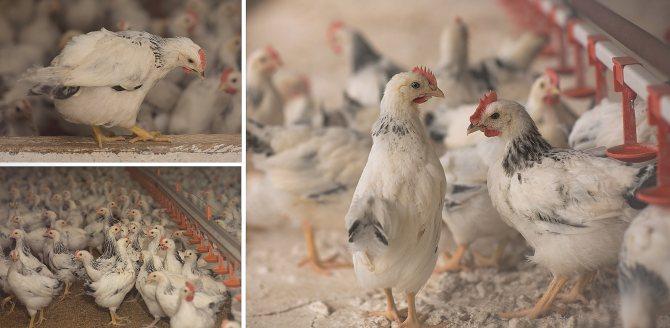 Адлерская серебристая порода кур