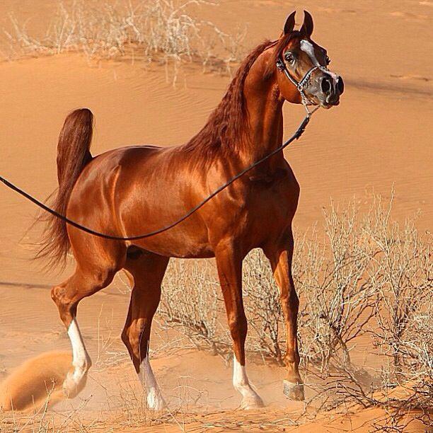 Арабская чистокровная лошадь — википедия. что такое арабская чистокровная лошадь