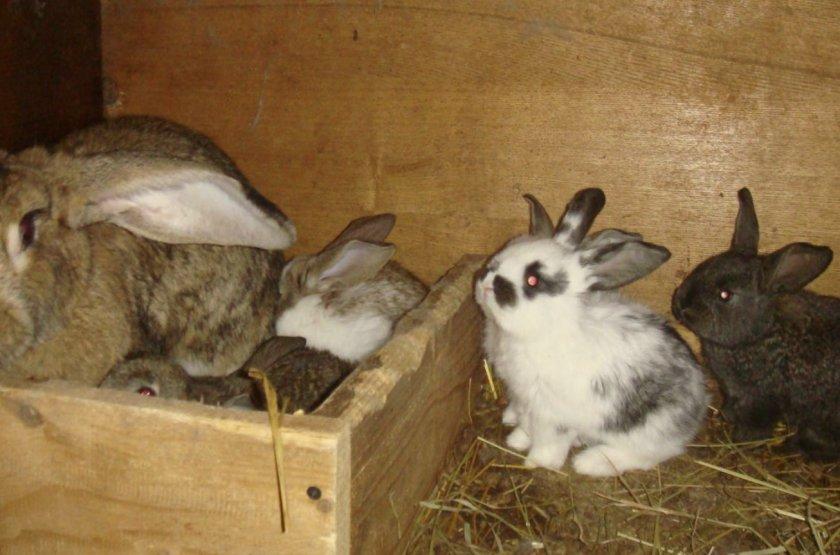 Как определить беременность крольчихи - способы определения, уход