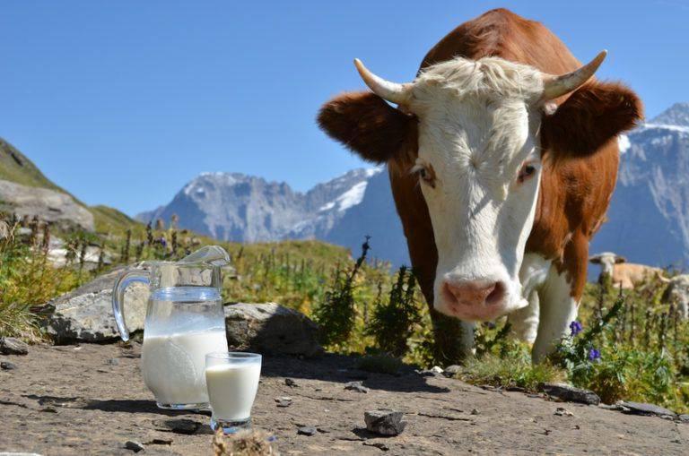 Всегда ли корова дает молоко (круглый год), что делать, если перестала